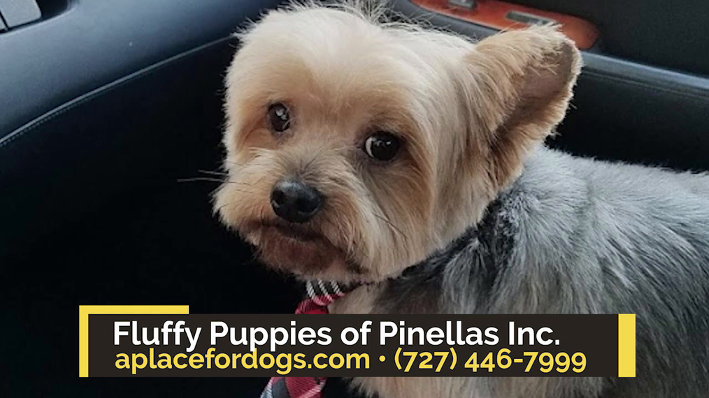Pet Grooming in Clearwater FL, Fluffy Puppies of Pinellas Inc.