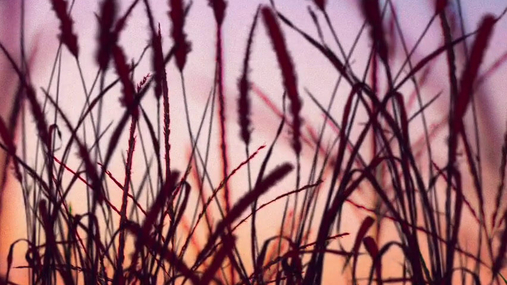 wheat, sunset, field
