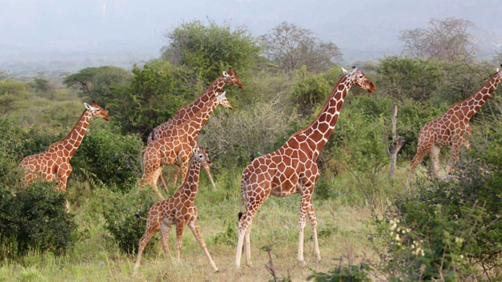 The Masai Giraffe