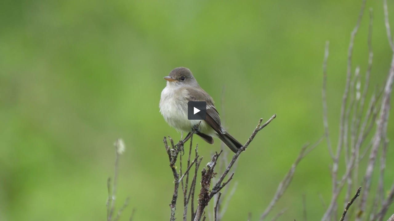 Willow Flycatcher in Olympia, Washington</a>
