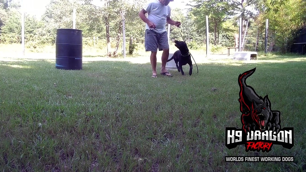 leash pressure intro with charlie.mp4